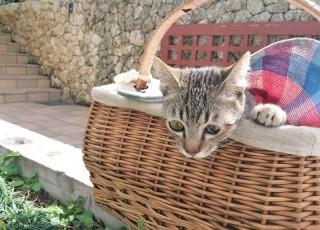 猫じかん キジトラ 動物病院へ